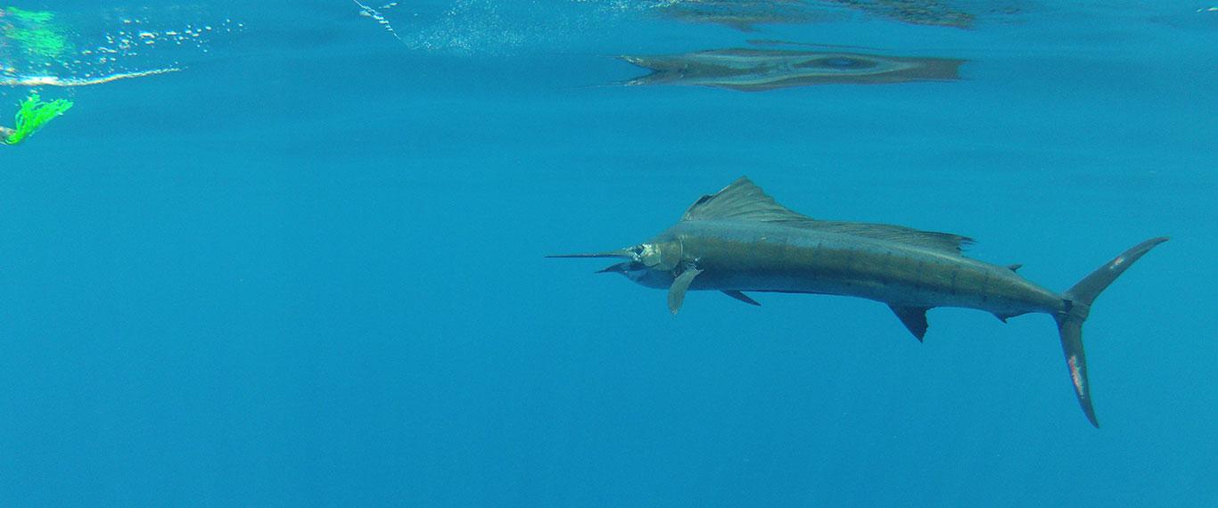 CR_sailfish_under