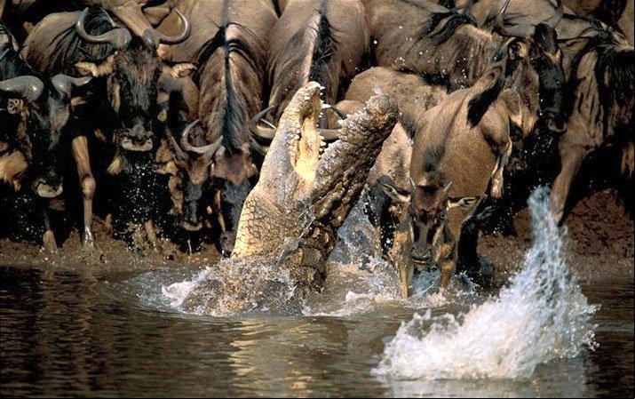 Crocodile.misses.wildebeest