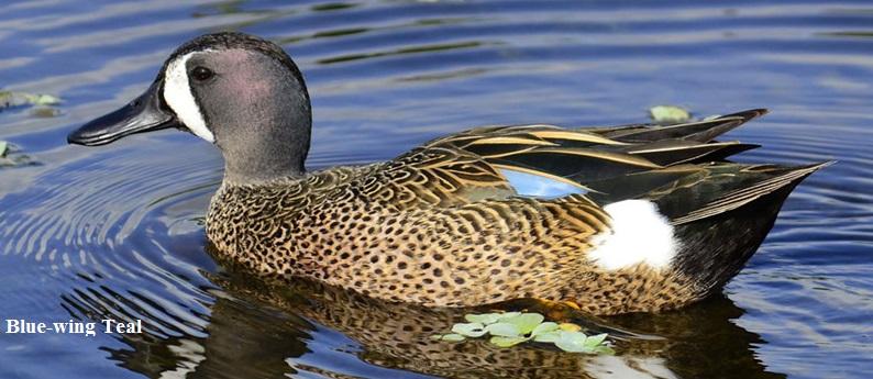 Ducks_Blue-Winged_Teal