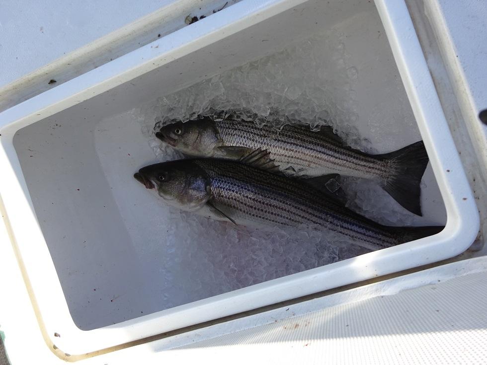 Fish_day_3_Cape_Cod_41-44_inch_Stripers