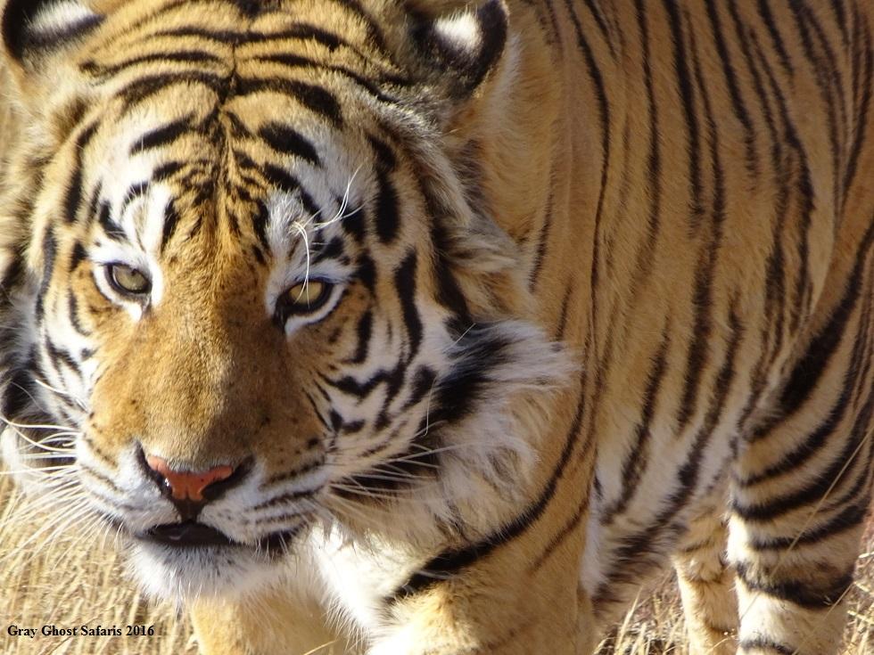 HS_Tiger_7-14-16a