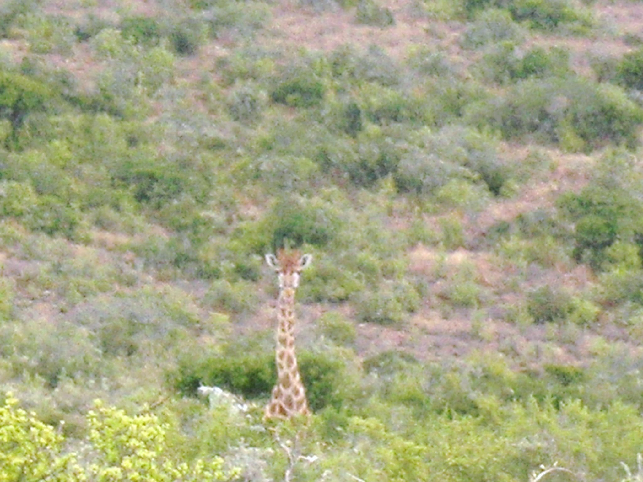 June_2007_Safari_Giraffe_dark
