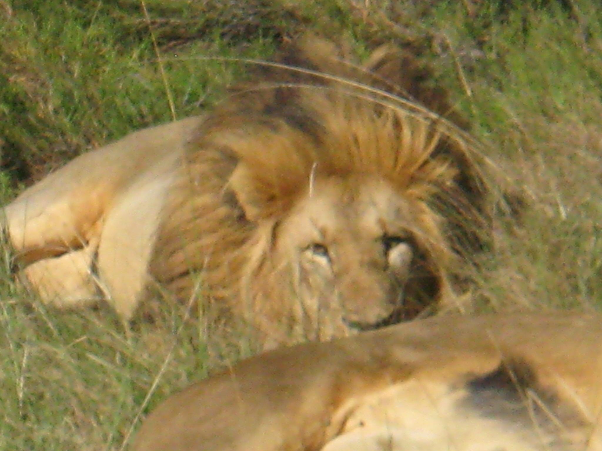 Lions-RSA