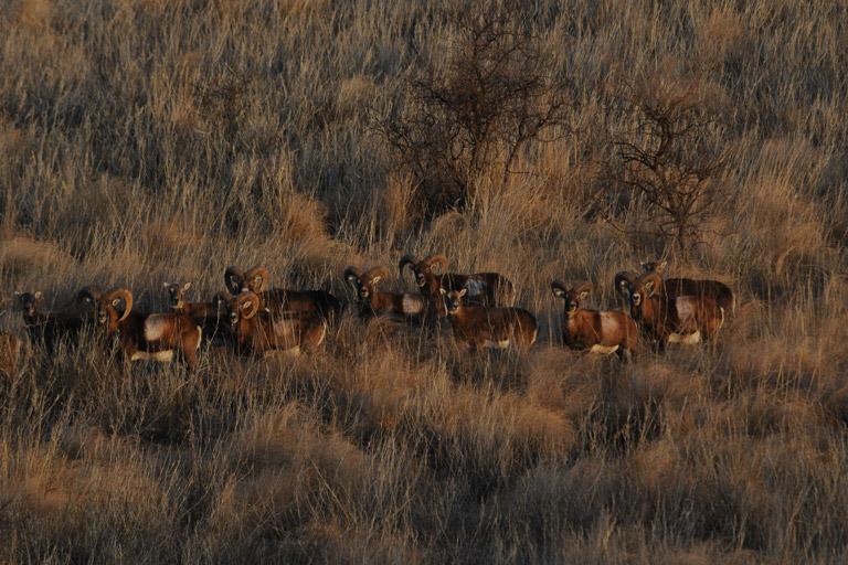 cp_mouflon