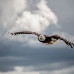 Angry_Eagle_flying