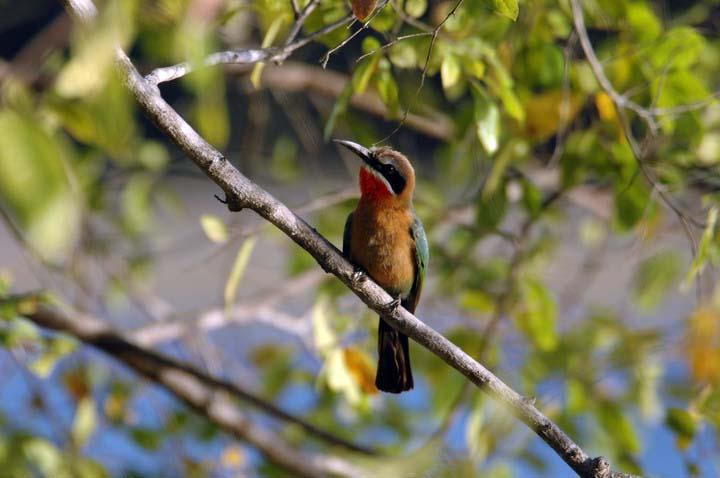 Bee.eater.Tanz