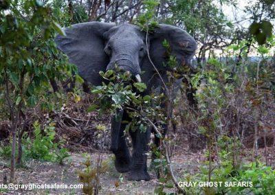 Elephant.charge