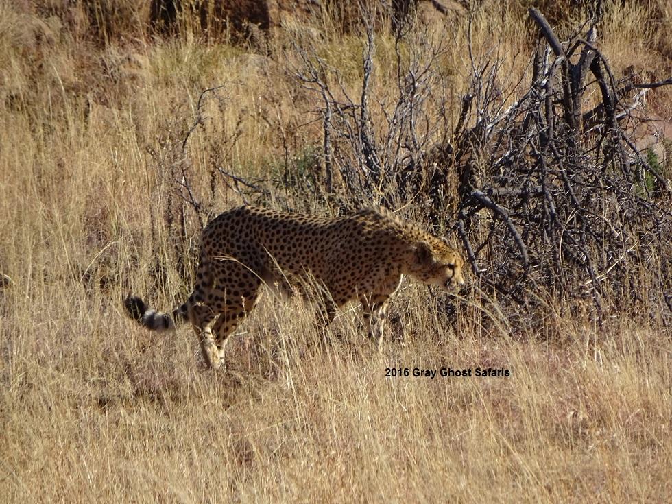 HS_Cheetah_j_7-11-16