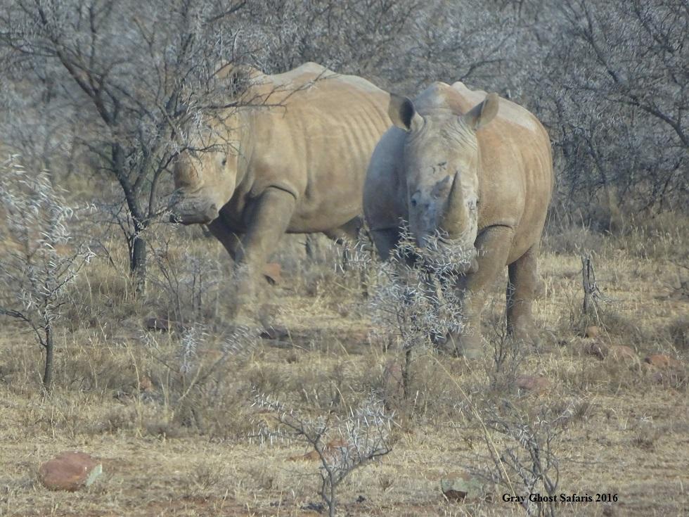HS_Rhino_7-19-16_e