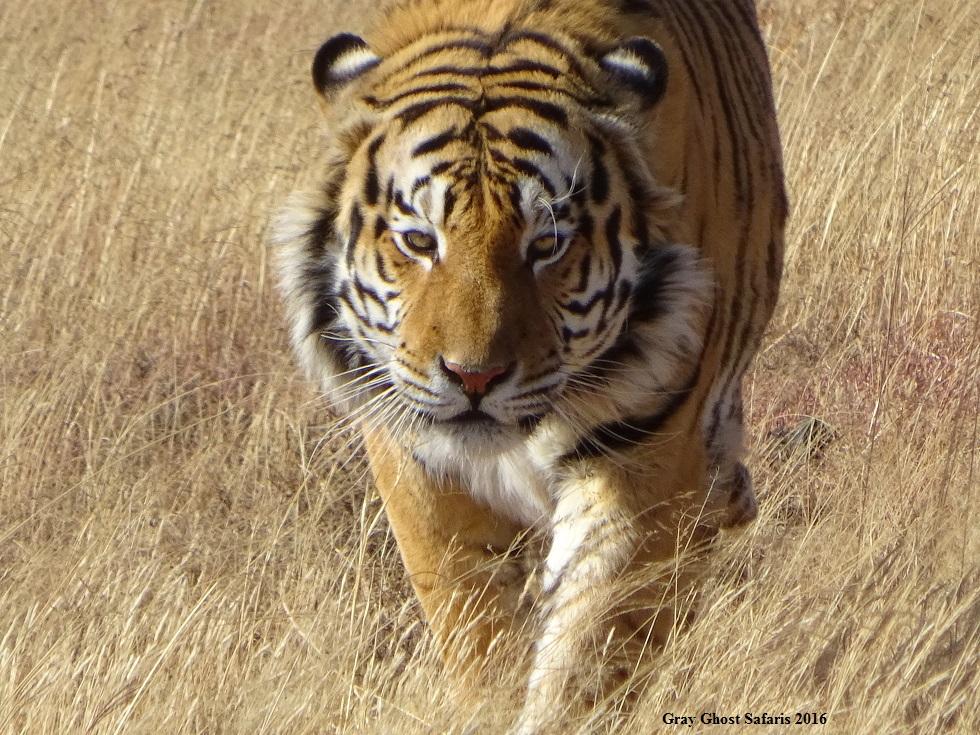 HS_Tiger_7-14-16_d