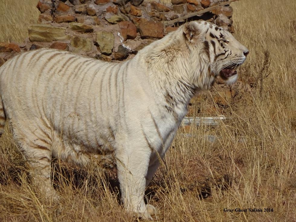 HS_White_Tiger_7-14-16_a