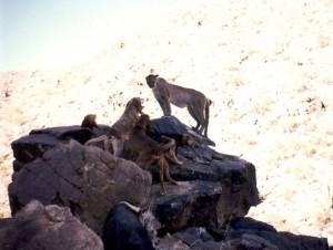 Yavapai_Mt_Lion