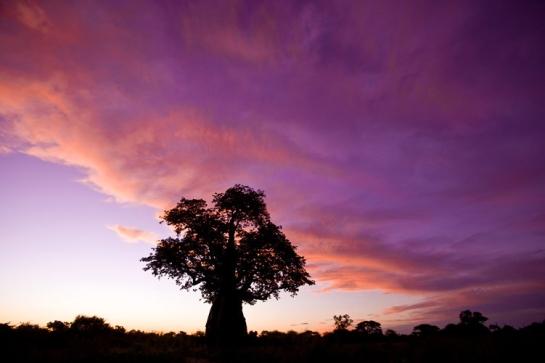 baobab.purple.skies